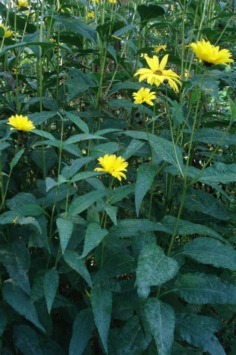 Garten Pflanzen Verkaufen by Garten Pflanzen Sonnenhut Lila Iris Ranunkelstrauch