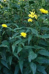 Efeu Pflanzen Kaufen : garten pflanzen sonnenhut lila iris ranunkelstrauch ~ Michelbontemps.com Haus und Dekorationen