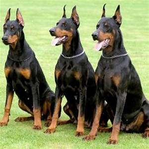 Warlock Doberman Pinscher Large | Doberman!-they are so ...