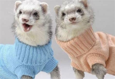 ferret sweaters zoo animals ferret best photos pictures 2012