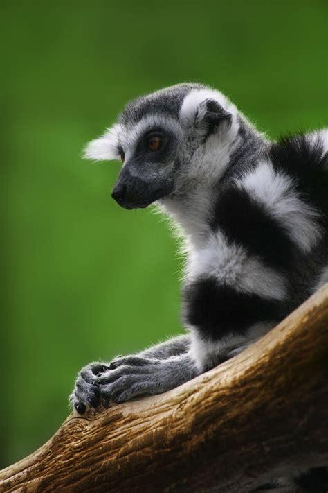 List of lemur species Wikipedia