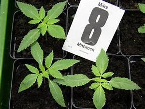 Wie Viele Löcher Hat Eine Frau : wie viele bl tter hat ein hanfblatt marihuana growing ~ Lizthompson.info Haus und Dekorationen