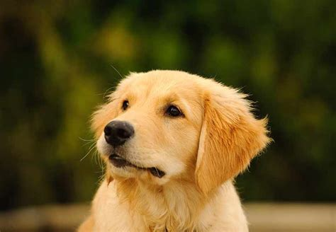 Your Golden Retriever Puppy Getting Off To A Great Start