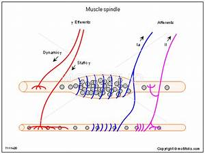 Muscle Spindle Illustrations