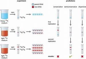 11.2: DNA Replication - Biology LibreTexts