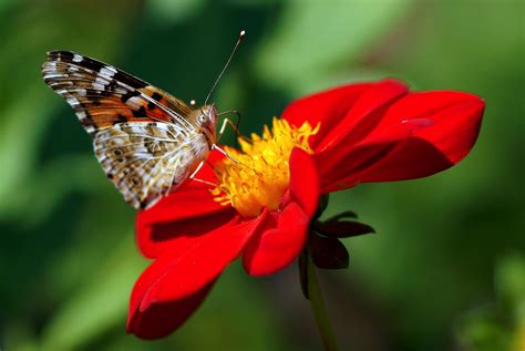Find the best butterfly and flower wallpaper on wallpapertag. dahlia, butterfly, flower Wallpaper, HD Macro 4K Wallpapers, Images, Photos and Background