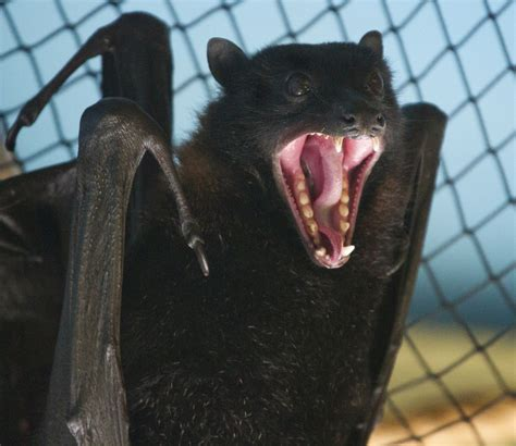 Bat fangs! | one reason not to mess with these guys ...
