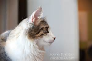 Norwegian Forest Cat Profile