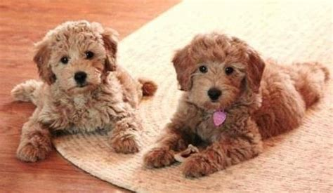 do mini cockapoos shed goldendoodle no shed so joanne labor