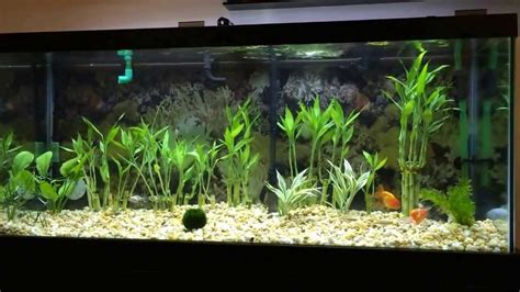 koi ranchu goldfish  plants moss ball
