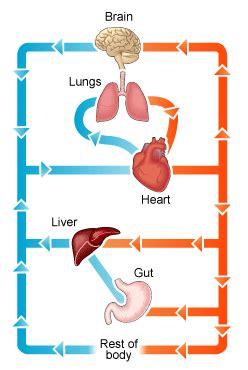 circulatory system diagram  health advisor