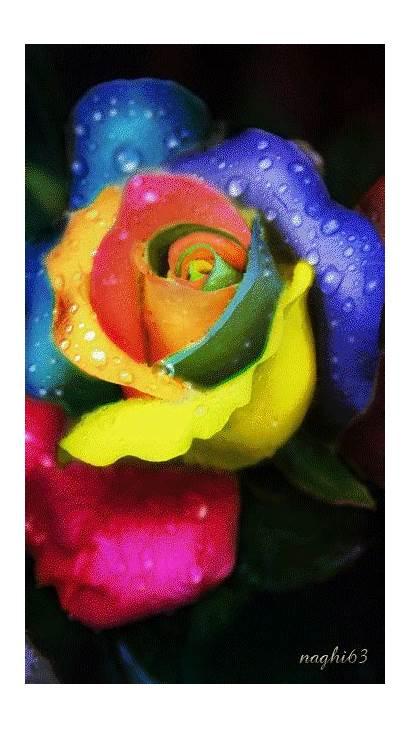 Rainbow Animated Rose Gifs Flowers Lovethispic Colorful