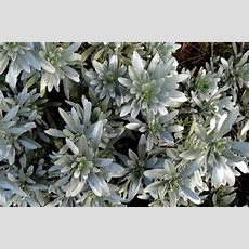 Silver Plants Worth Their Weight In Gold  Plant Lust