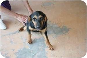 Ginger | Adopted Puppy | Arkadelphia, AR | Beagle/Black ...