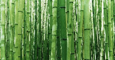 bambu agaci hikayesi
