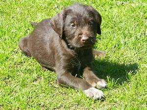 German Wirehaired Pointer x (1/16th Lab) puppies   Penrith ...