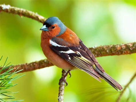 Common Garden Birds UK