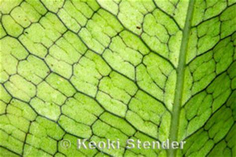 crocodile  crocodylus fern microsorum musifolium