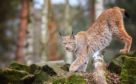 Forest Animal Wallpaper - animals cats lynx trees forest wildlife predator nature