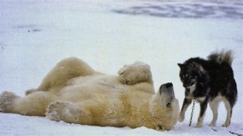 Video Polar Bears And Dogs Playing Together Theyre