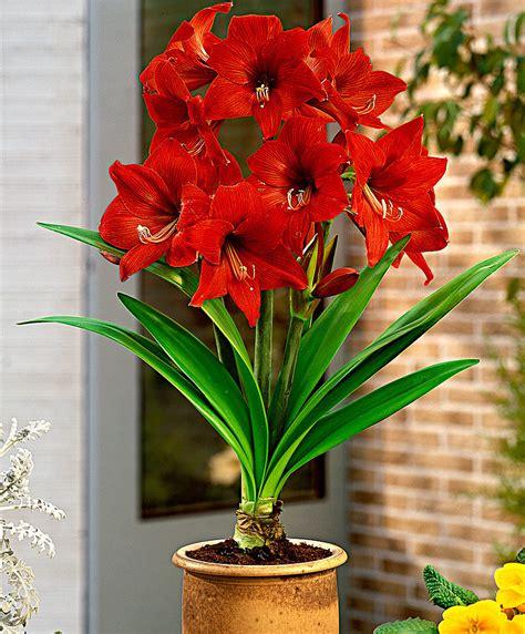 buy amaryllis gracilis flower bulb  bakkercom