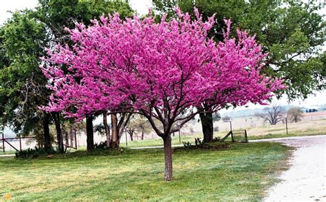 eastern redbud trees eastern redbud trees for sale the planting tree