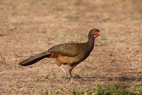 Chaco chachalaca - Wikipedia