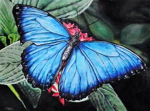 Blue Morpho Butterfly Drawing by Stefan Peters