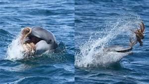 Schöne Delfin Bilder : ein delfin wurde dabei beobachtet wie er mit einer krake spielt ~ Frokenaadalensverden.com Haus und Dekorationen