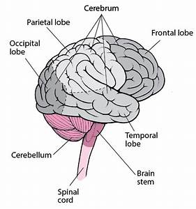 Overview Of Cerebral Function
