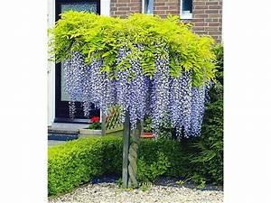 Sträucher Auf Stamm : blauregen auf stamm 1 pflanze wisteria sinensis glycinie lidl deutschland ~ Michelbontemps.com Haus und Dekorationen