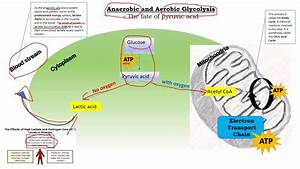 Anaerobic And Aerobic Glycolysis