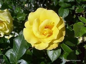 Gelbe Rose Bedeutung : die rose ein symbol der seele ~ Whattoseeinmadrid.com Haus und Dekorationen