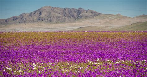 The Worlds Driest Desert Blooms With Hundreds Of Flowers