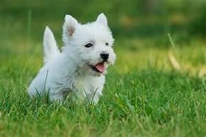 West highland white terrier - wallpaper.