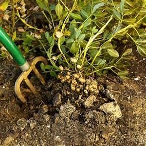 Peanut Seeds - Arachis Hypogaea - Sprouting / Planting ...