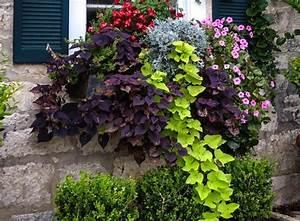 Patate Douce Plante : fleurs d t en jardini re plein soleil plante plein ~ Dode.kayakingforconservation.com Idées de Décoration