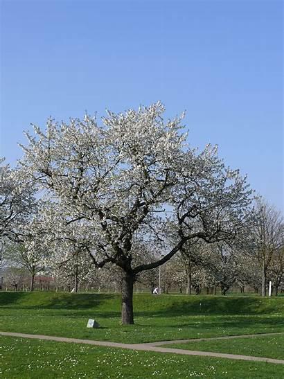 Outside Kirsipuu Trees Cherry Vitra Wikipedia Commons