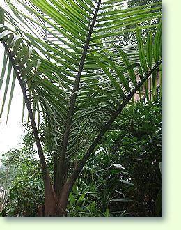 zimmerpalmen erfolgreich pflegen pflanzenfreunde