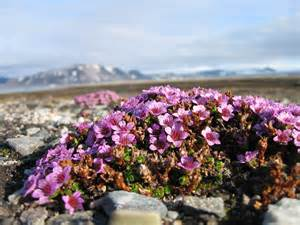 Tundra Plants Names and Facts