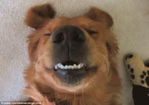 Frowning Dog Meme - turn that frown upside down daft dogs look like they re grinning from ear to ear when they roll