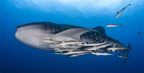 locations  swim dive  whale sharks
