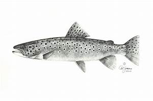 How to draw brown trout