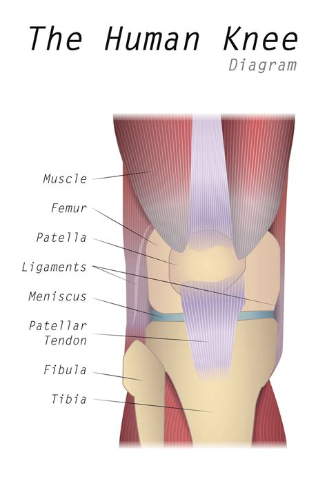 It lies at the origins and insertion of skeletal muscle fibers into the tendons of skeletal muscle. Everything You Need to Know About Patella Alta - Health Hearty