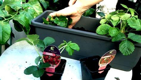 nettoyeur siege voiture fraisiers en pots suspendus 28 images fraisiers de d