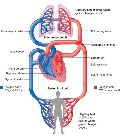 circulatory systems pulmonary circulation systemic