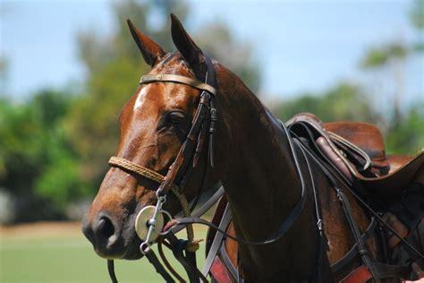 polo pony ponies horse pretty horses fine head tails
