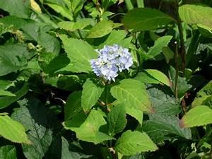 Hortensien Wann Schneiden : wann hortensien schneiden hortensien schneiden wann ist ~ Lizthompson.info Haus und Dekorationen