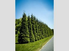Evergreen Privacy Trees For Sale The Tree Center™