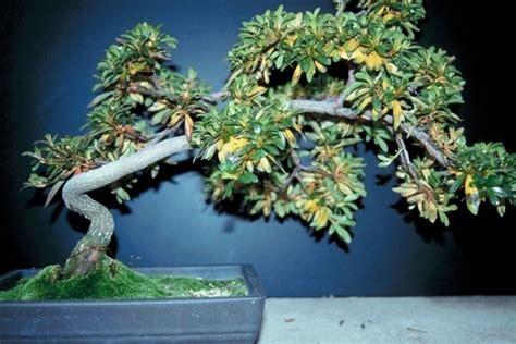 Bonsai perde foglie Attrezzi e vasi per bonsai Quando il bonsai perde le foglie